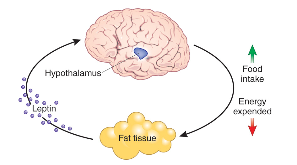 How To Stop Sugar Cravings Leptin Hormone